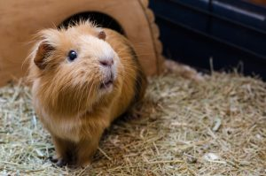 Guinea Pigs––And their Teeth!